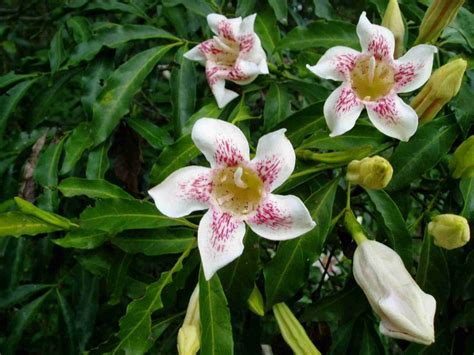 Scented Bells (rothmannia Manganjae); Strong Sweetly