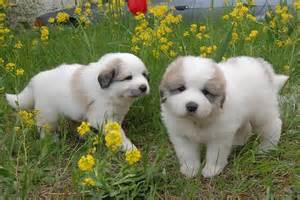 Great Pyrenees Bernese Mountain Dog Puppies