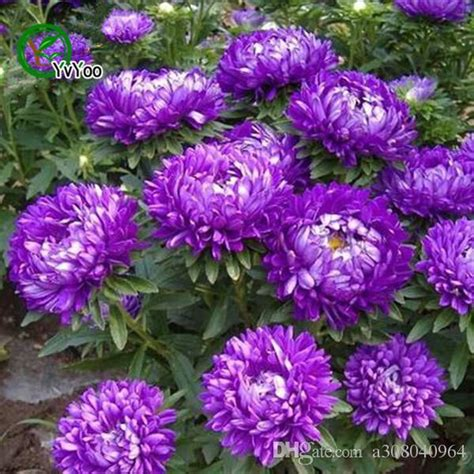 2019 Purple China Aster Seeds Bonsai Balcony Flower Potted