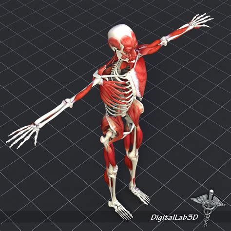 The musculoskeletal system supports our bodies, protects our organs bones are made up of a framework of a protein called collagen, with a mineral called calcium phosphate that makes the framework hard and strong. Human Muscle And Bone Structure 3D Model in Anatomy 3DExport