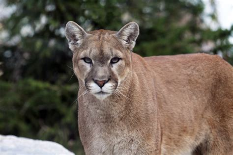 Cougar Facts, History, Useful Information And Amazing Pictures