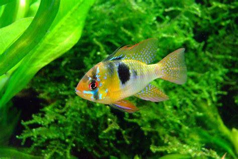 photo gratuite papillon cichlid 233 s aquarium image gratuite sur pixabay 379074