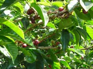 Olx has 1000's ads available in south africa of goods for sale from cars, furniture, electronics to jobs and services listings. Coffea arabica Gesha | Geisha Coffee | Buy Rare Seeds for Sale at BuyRareSeeds.com