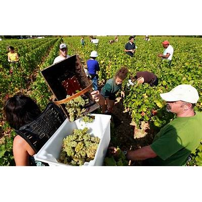 2012 Wine Harvest Around the World - Oh TV