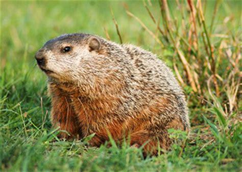 easton 39 s wildlife mole control mole removal