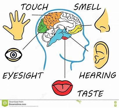 Senses Five Human Cinque Brain Vijf Menselijke