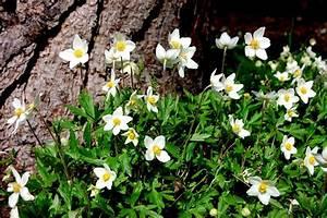 Frühblühende Sträucher Frühjahr : fr hbl hende anemonen ~ Michelbontemps.com Haus und Dekorationen