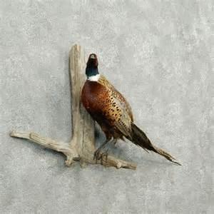 Ringneck Pheasant Taxidermy Mounts