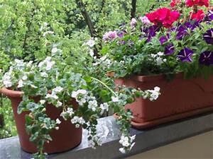 Kübelpflanzen Für Schatten : sonnige balkonpflanzen gartenelfe ~ Eleganceandgraceweddings.com Haus und Dekorationen
