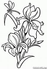 Coloring Lily Iris Flowers sketch template