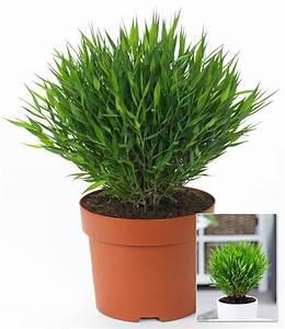 Bambus Pflege Zimmerpflanze : zimmerbambus 1a qualit t baldur garten ~ Michelbontemps.com Haus und Dekorationen