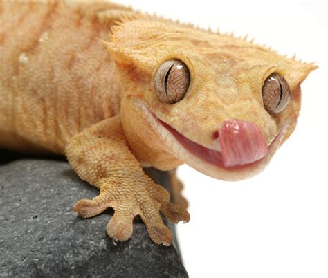 Zoological Investigations: Crested Gecko
