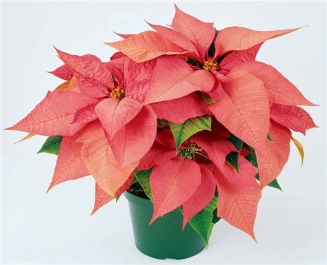 poinsettia pink phn band boosters poinsettia sale orders due 11 20 15