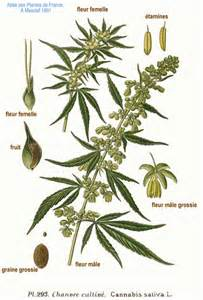 Atlas Canapé by File 293 Cannabis Sativa L Jpg Wikimedia Commons