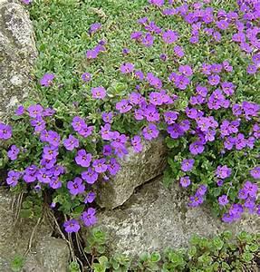 Bodendecker Blau Blühend Winterhart : blaukissen pflanzenportr t wyss ~ Michelbontemps.com Haus und Dekorationen