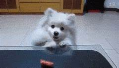 cute pomeranians GIFs Search | Find, Make & Share Gfycat GIFs