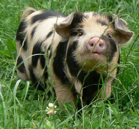 kunekune pig sizing up the competition at the dorset county show resort dorset