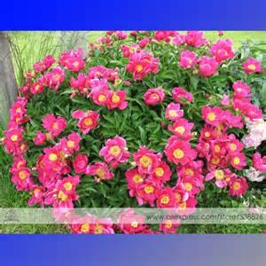 Peony Flower Bushes