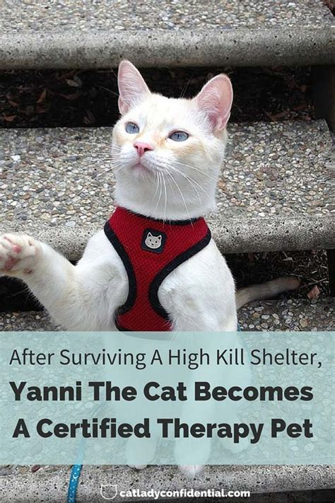 After Surviving A High Kill Shelter Yanni The Cat Becomes A Certified Therapy  Ee  Pet Ee   Cat Lady