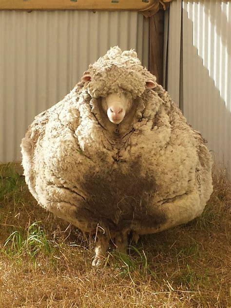 dont shear  sheep
