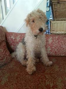 Wire-haired Fox terrier   Tunbridge Wells, Kent   Pets4Homes