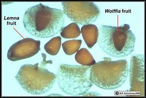 Lemnaceae - Images of Lemna perpusilla