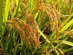 Key Gene Discovered For Resistance Against Fungal Rice Blast