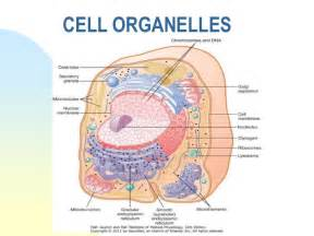 What Are Cells and Organelles