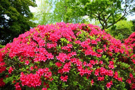 azalea japonica en pot azalea japonica vuyk s scarlet rhododendron 20 30cm in 2l pot beechwoodtrees