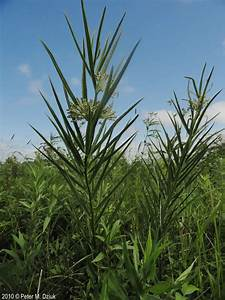 Thankyou Note Asclepias Hirtella Prairie Milkweed Minnesota Wildflowers
