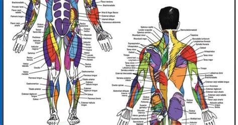 Back muscle anatomy, types, structure, importance & names. Diagram Of Body Muscles And Names : Pin on Exercise : The ...