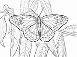 Butterfly Coloring Viceroy Pages Printable Monarch Drawing Moth Supercoloring Swallowtail Dibujo Cabbage Vector sketch template