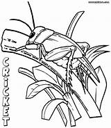 Cricket Coloring Pages Insect Colorings sketch template