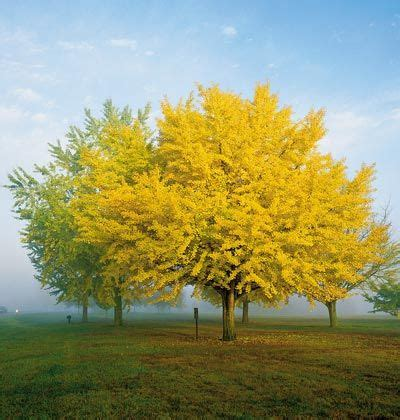 ginkgo biloba varieties ginko trees wildwoodmaples com dwarf ginkgo biloba trees they re tough long lived and they have