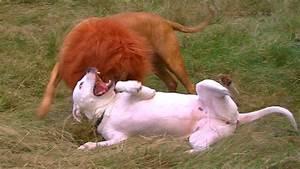 Pitbull Vs Lion Fight