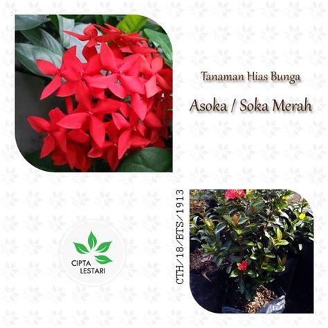 jual tanaman hias bunga asoka soka merah pohon cipta