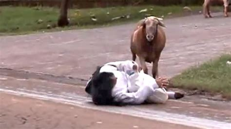 crazy goat attacks people   hilarious society  rock