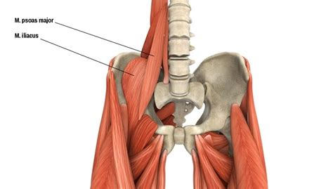 anatomie der musculus iliopsoas lenden darmbeinmuskel