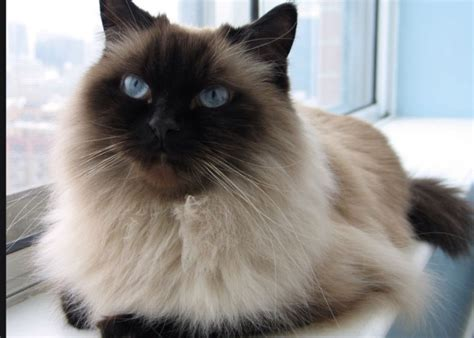 50 Himalayan Cat  Funny Cat Dompictcom