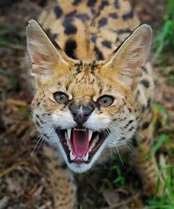 Member Photos: Serval | International Society For ...