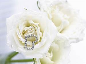 White Rose Flowers Wallpapers - Entertainment Only