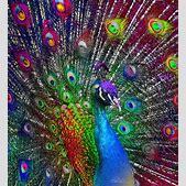 peacock - Googl...