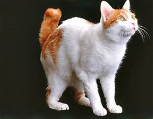 Black Orange And White Japanese Bobtail Cat