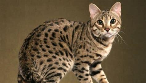 Dārgākās kaķu šķirnes pasaulē. Top 3. - Spoki