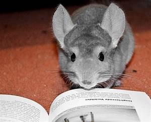 Was Heißt Kfw : was hei t hier lese ratte ich bin ein chinchilla foto bild tiere haustiere nagetiere ~ Frokenaadalensverden.com Haus und Dekorationen