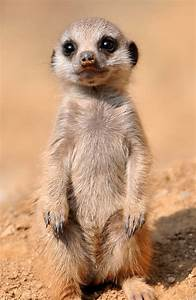 Meerkats Don't Spoil Their Mind-Numbingly Cute Babies | WIRED