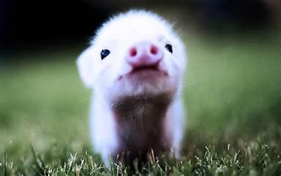 Pig Pigs Piglet Wallpapers Cutest 2048 Looking