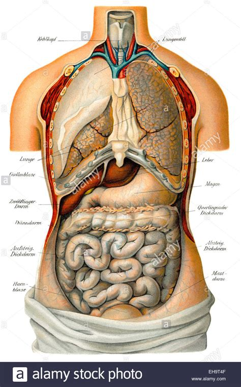 thoracic  abdominal organs health counselor