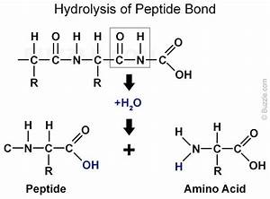 Pepsin Enzyme  Structure  Function  And Important Facts