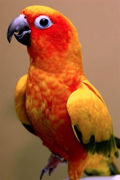 sun conure 1000 images about parakeets cockatiel sun conure on pinterest budgies pet birds and bird toys